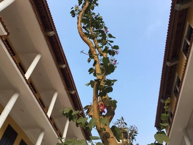 Hoa ban bung nở dưới nắng chiều mùa xuân